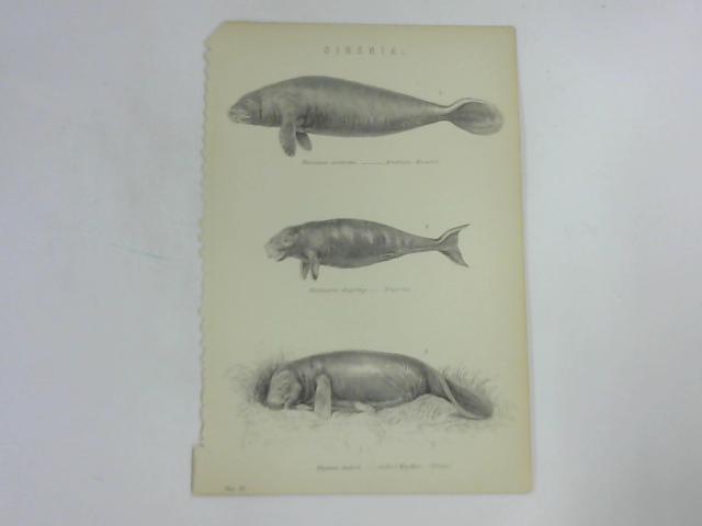 Sirenia; Types Of Manatee by NA