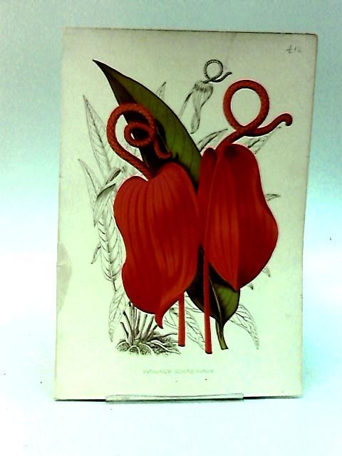 Book Plate of Anthurium Scherzerianum By NA