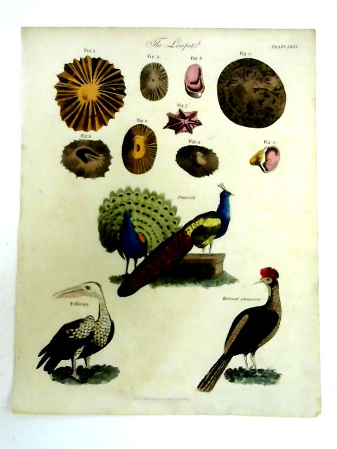 Limpet and Bird Hand Coloured Book Plate Engraving by Anon