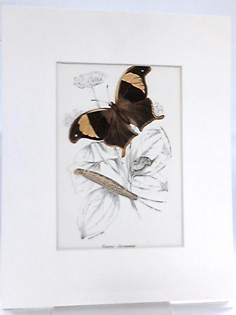 Vintage Art Print of a Butterflies Life Cycle by Anon