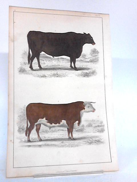 Coloured plate of two Bulls, No V By Unknown