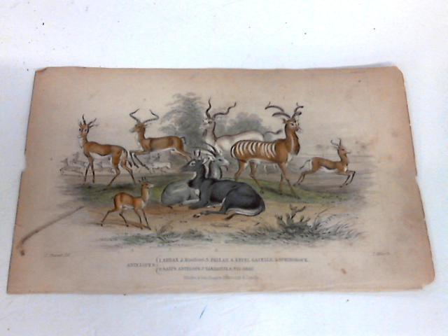 Colour Plate of Antelopes By J Miller
