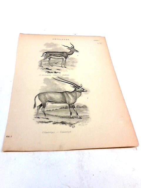 Illustration of 2 Antelopes By Unknown