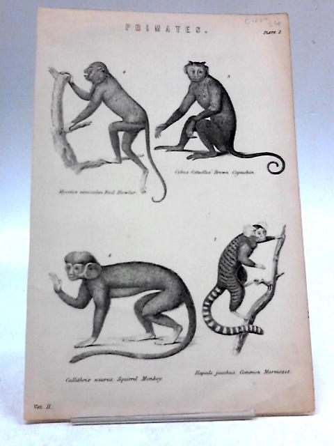 Illustration of four Lemurs By Unknown