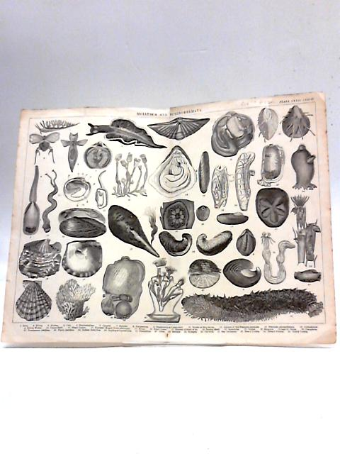 Illustration of Mollusca and Echinodermata By Unknown