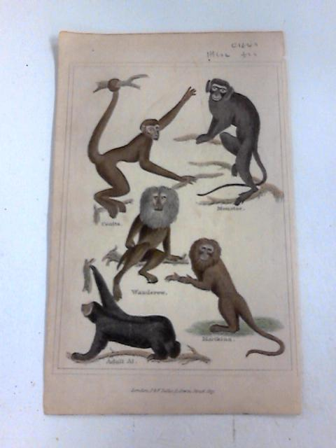 Colour Plate of a Monkeys. by Unknown