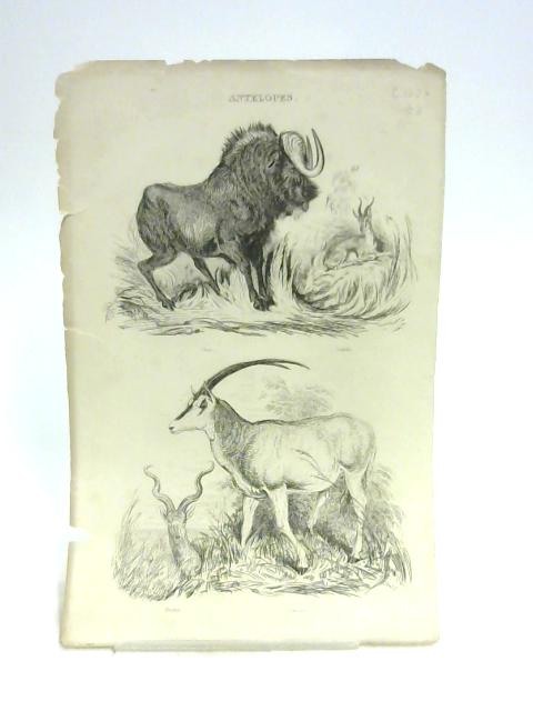 Print of Antelopes By Unknown