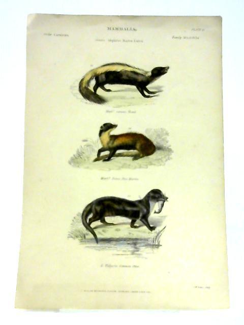 Mammalia: Family Mustelidae - Colour Print by Anon