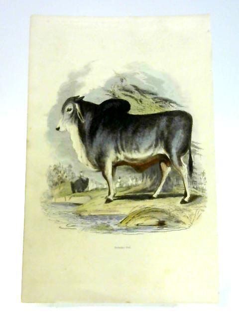 'Brahminy Bull' - Colour Print by Anon