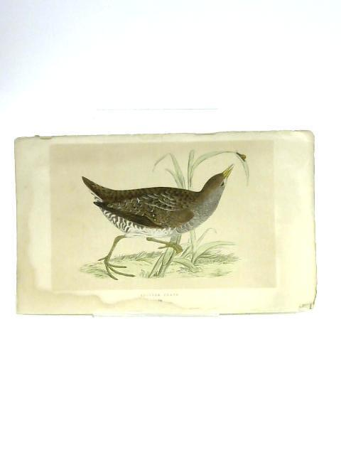 Print of Spotted Crake By Unknown