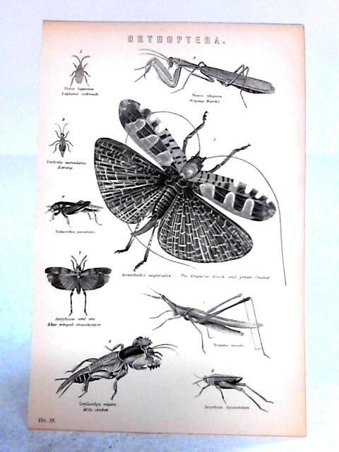 Vintage Black and White Book Plate Depicting Orthoptera Insects by Anon